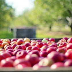 apples-1004886_1920